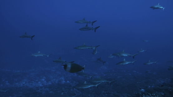 School of Grey sharks in the pass, Fakarava, 4K UHD