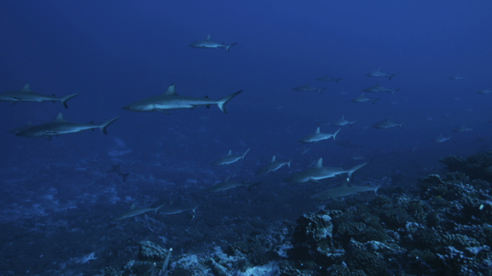 Grey sharks schooling over the coral reef in the pass, Fakarava, 4K UHD