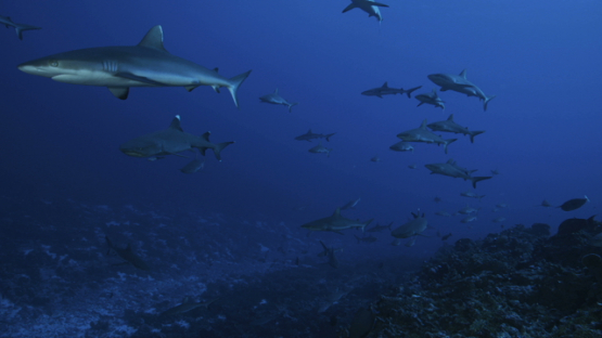 Grey sharks schooling in the pass, white tip shark approaching, Fakarava, 4K UHD