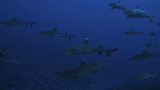 White tip sharks and Grey sharks schooling over the coral reef, Fakarava, 4K UHD
