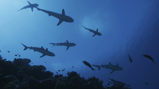 Grey sharks schooling over the coral reef, shot from below, Fakarava, 4K UHD
