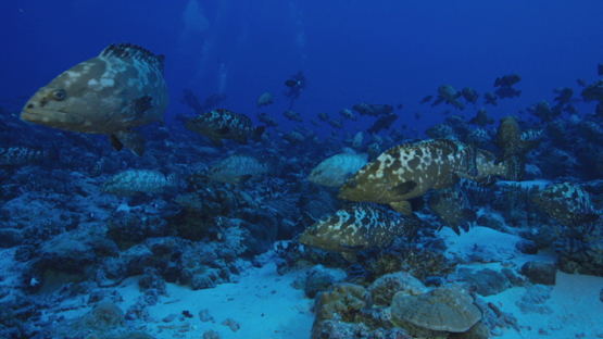 Marbled groupers in the pass before reproduction, Fakarava, 4K UHD