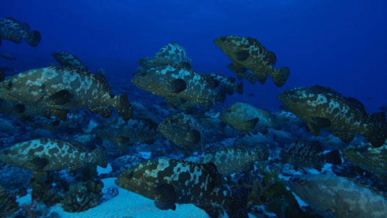 Large group of Marbled groupers in the pass before reproduction, Fakarava, 6K