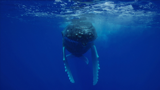 Humpback whale near the surface, Rurutu, 6K