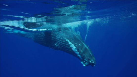 Humpback whale playing near the surface, Rurutu, 6K