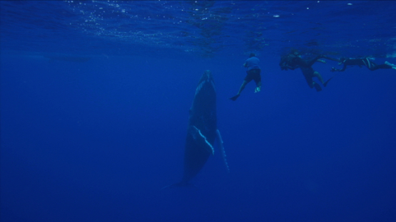 Snorkelers watching a single Humpback whale near the surface, Rurutu, 6K