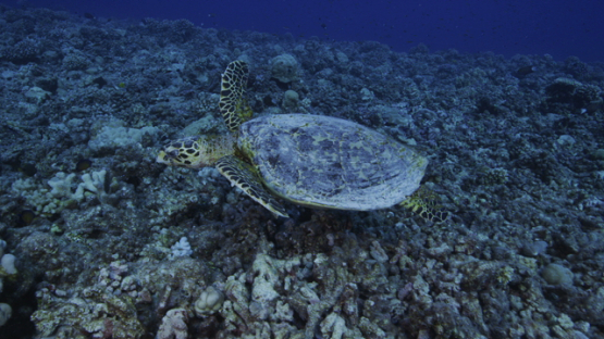 Hawksbill sea turtle over the coral reef, Tikehau, 4K UHD