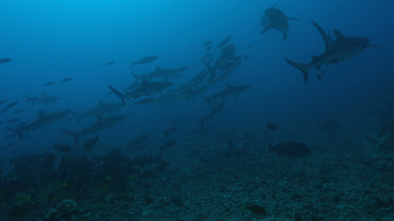 Frenzy of a Grey sharks group shot in slow motion, Tahiti, 4K UHD
