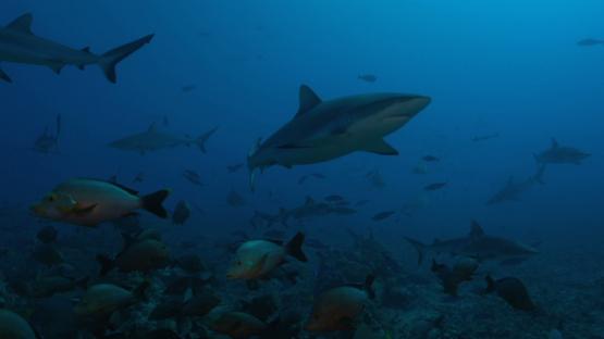 Group of grey sharks, Tahiti, 4K UHD