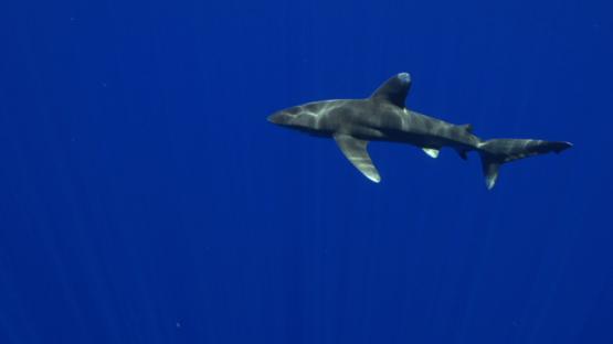 White tip oceanic shark in the deep sea, Moorea, 4K UHD