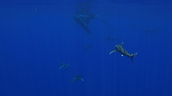 PIlote whales and White tip oceanic shark in the deep sea, Moorea, 4K UHD