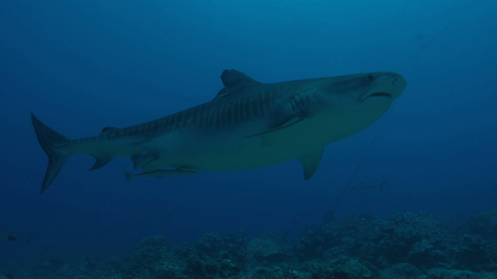 Tiger shark coming from the blue, over the camera, Tahiti, 4K UHD