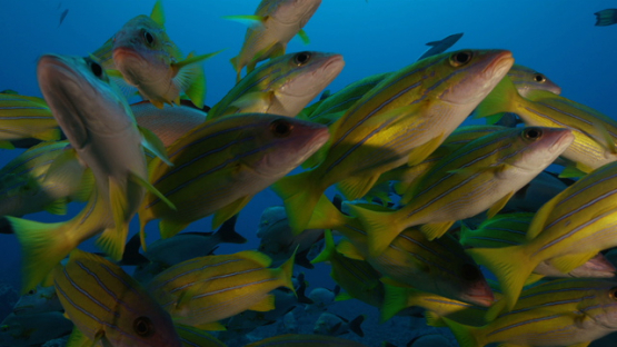 In the middle of a school of red paddle tail and yellow snappers, Tahiti, 4K UHD