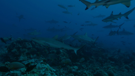 Grey reef sharks schooling over the coral reef, Tahiti, 4K UHD