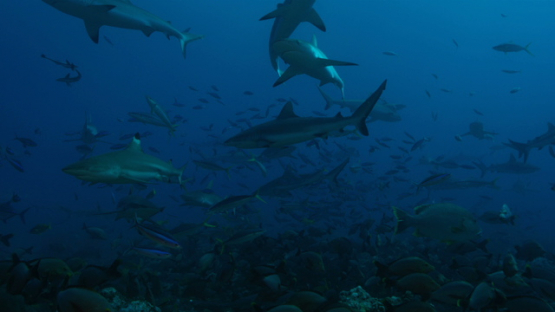 Grey reef sharks and black tiip sharks schooling over the coral reef, Tahiti, 4K UHD