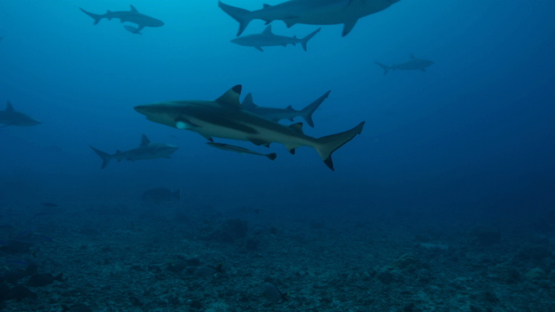 Black tip shark and Grey reef sharks schooling over the coral reef, Tahiti, 4K UHD