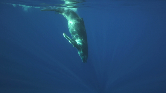 Humpback whale and calf swimming back to the surface, under camera, Tahiti, 4K UHD
