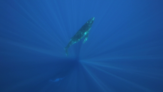 Humpback whale resting, and calf swimming back to the surface, Tahiti, 4K UHD