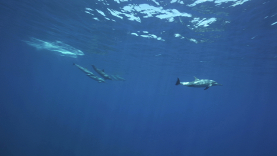 Spinner dolphins swimming near the surface, Tahiti, 4K UHD