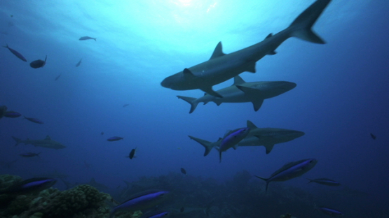 Grey sharks swimming over the coral reef, Tahiti, 4K UHD