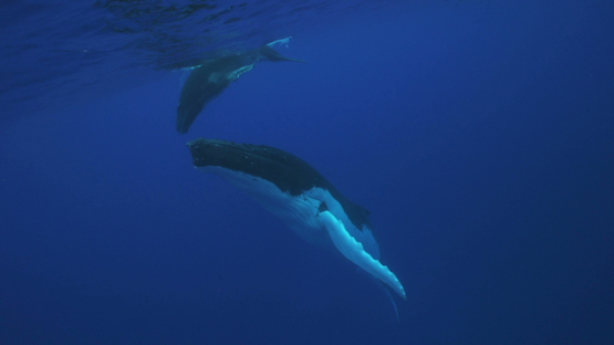 Humpback whales, mother and calf back to surface, Tahiti, 4K UHD