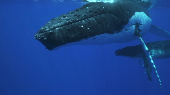 Humpback whales, mother and calf resting at the surface, Tahiti, 4K UHD