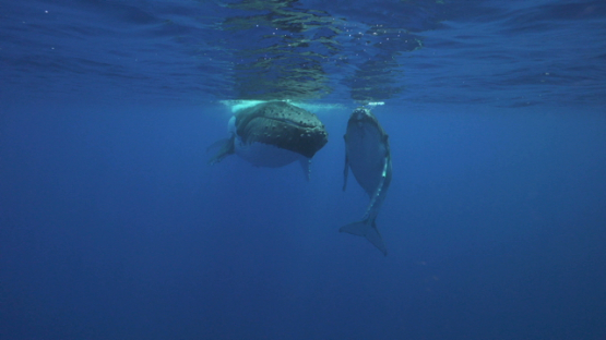 Humpback whales, mother and calf resting near the surface, Tahiti, 4K UHD
