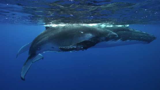 Humpback whales mother and calf floating at ths surface, Tahiti, 4K UHD