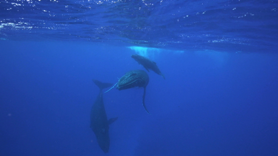 Two humpback whales and calf playing near the surface, Tahiti, 4K UHD