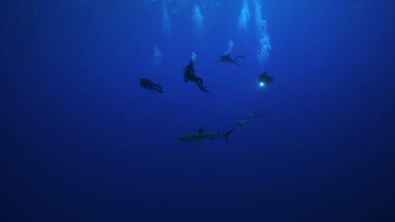 Scuba divers and Grey sharks in the blue, Rangiroa, 4K UHD