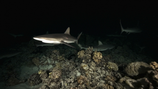 Grey sharks over the coral reef at night, Fakarava, 4K UHD