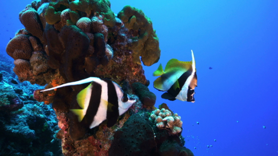 couple of Banner fishes over the coral reef of the pass, Rangiroa, 4K UHD