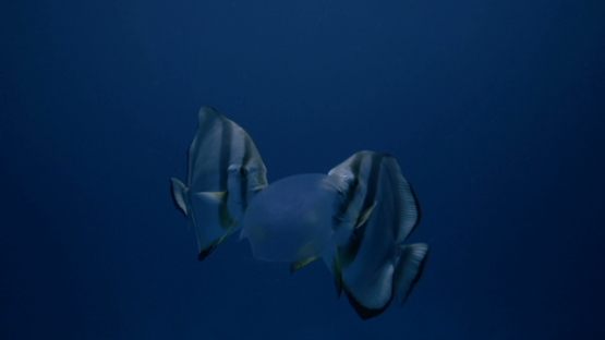 Two batfishes trying to eat a jelly fish in the pass, Rangiroa
