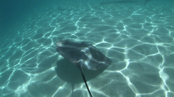 Sting rays and black tip sharks swimming shallow close to tourists in the lagoon, Moorea