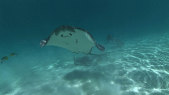 Sting rays swimming shallow close to tourists and camera in the lagoon, Moorea