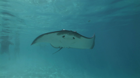Sting ray swimming shallow over the camera in the lagoon, Moorea