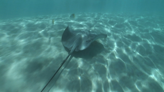 Sting rays swimming shallow close to tourists in the lagoon, Moorea