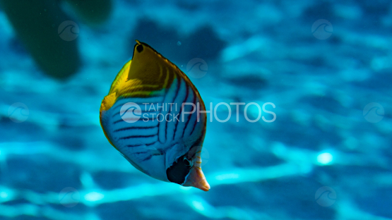 butterfly fish in the lagoon