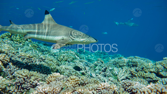 blacktip shark at Fakarva with coral