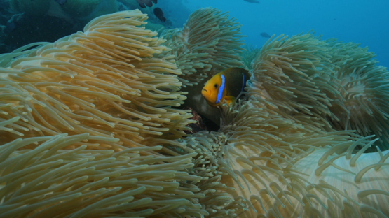 Sea anemone and clown fish, Moorea, 4K UHD