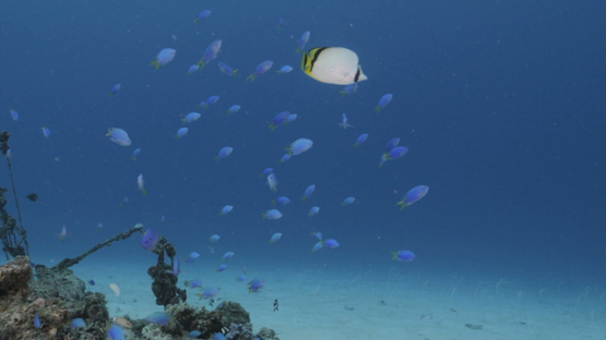 Blue damsel fishes over pinnacle of coral in the lagoon, Moorea, 4K UHD