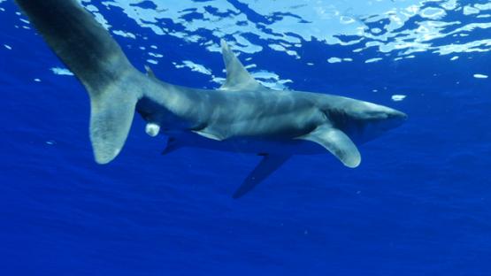 Oceanic shark and swimmers in open water, Moorea, 4K UHD