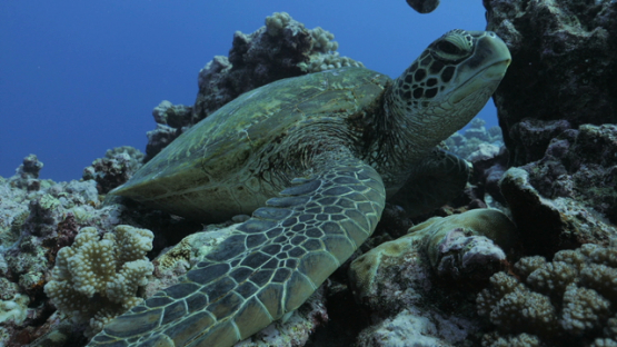 Green turtle resting in the coral garden, Moorea, 4K UHD