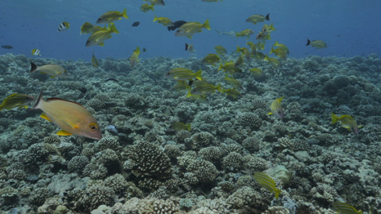 Blue lined yellow snappers over the coral reef, Moorea, 4K UHD