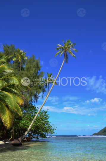 Tahitian coconut tree in the lagoon