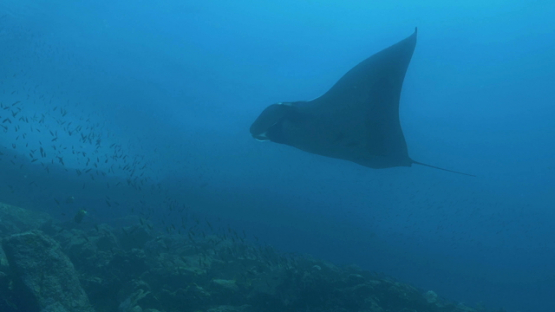Tahuata, Manta ray swimming along the coast