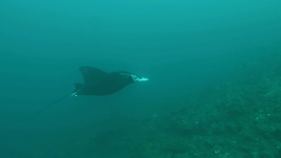 Hiva Oa, Manta ray swimming towards the drop off
