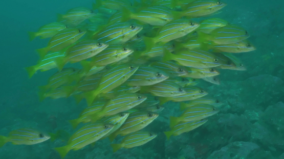 Hiva Oa, blue lined yellow snappers schooling along the rocky reef