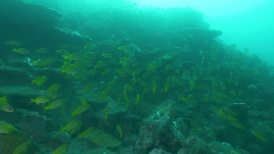 Hiva Oa, blue lined yellow snappers schooling along the reef, under the sun light