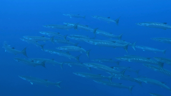 Tahuata, group of barracudas in the blue waters